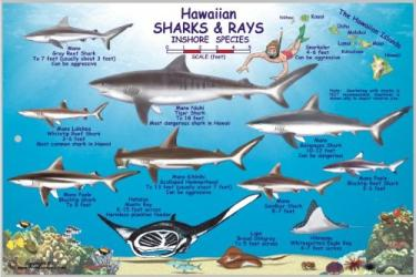 Buy map Hawaiian Sharks and Rays Offshore and Inshore Species by Frankos Maps Ltd. from United States Maps Store